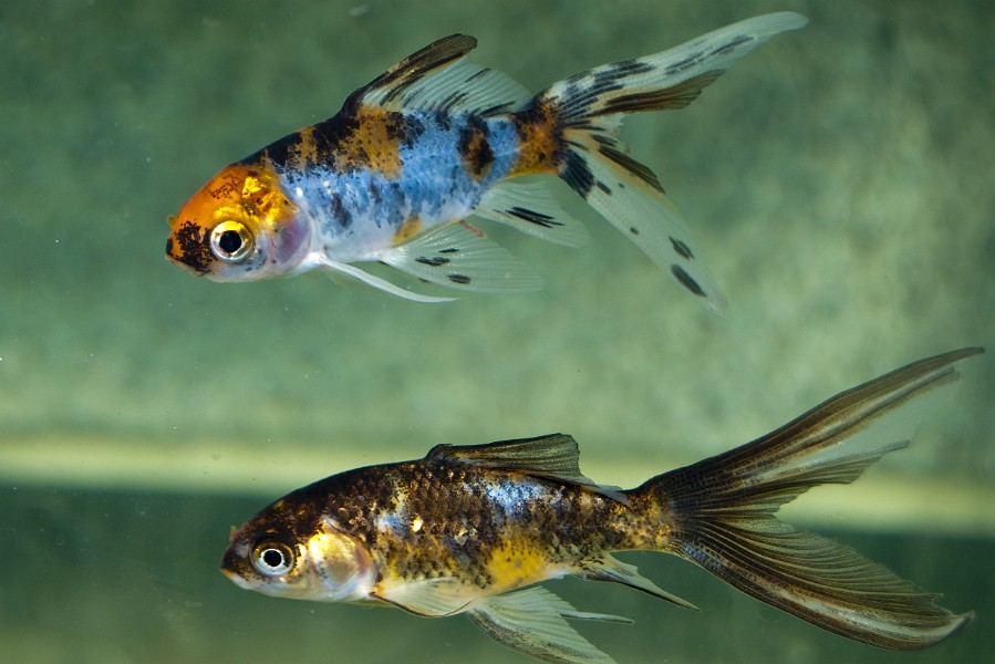 Watch further Watch in addition No Le Pasa Mi Pez Vol Xxv 459360 besides Index besides Bubble Eye. on albino oscar fish